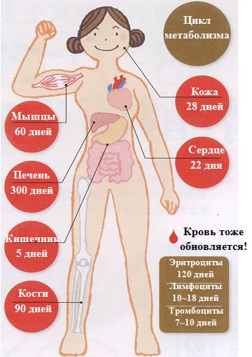 Что такое метаболизм в организме человека простым языком