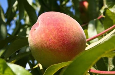 Персик (фрукт) — википедия. что такое персик (фрукт)