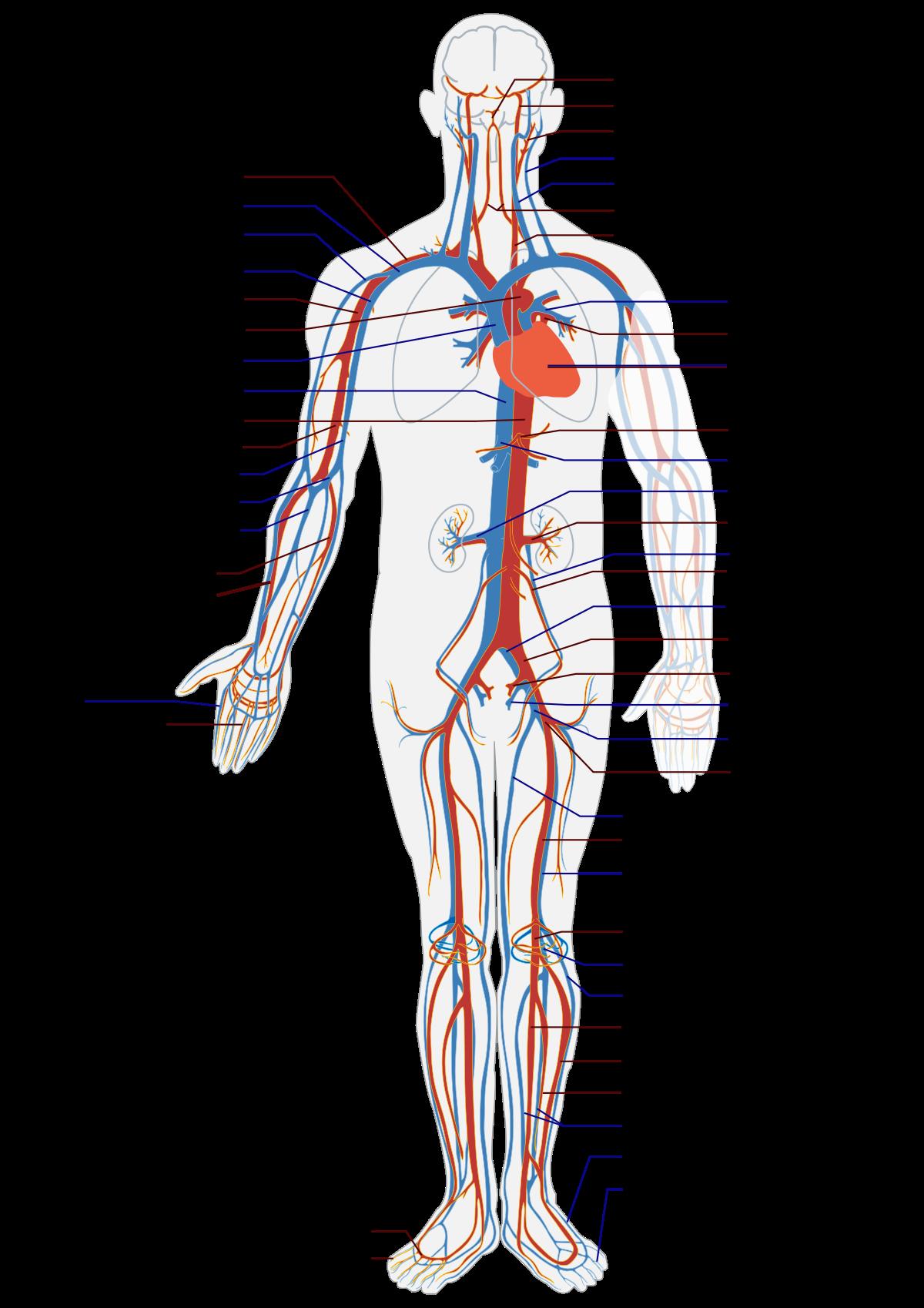 Кровеносные сосуды человека — строение, функции, роль в организме и возможные патологии