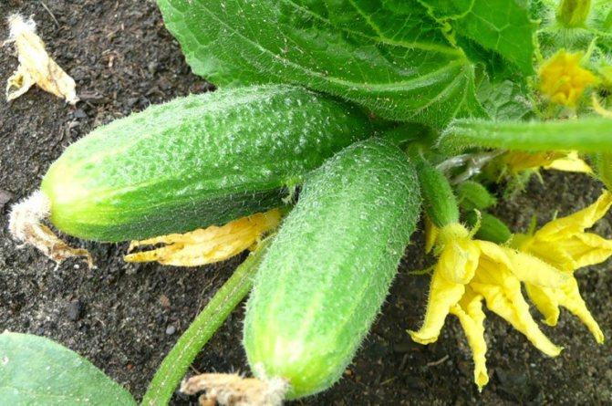 Мочевина – удобрение, применение на огороде, в саду, польза, эффективность