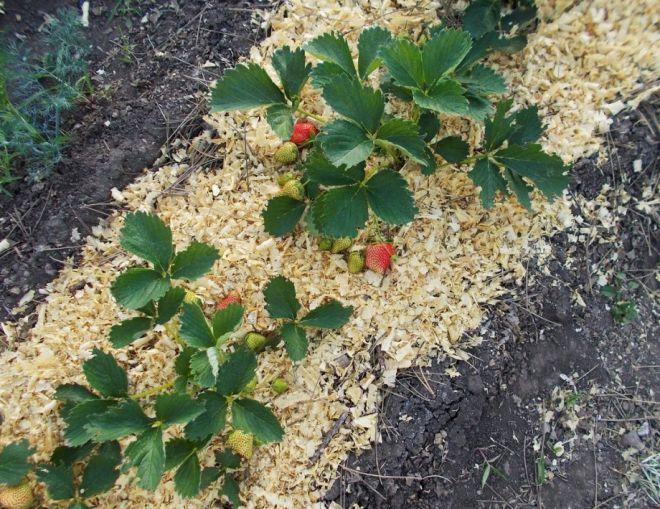 Мульчирование почвы (мульча): опилки, солома, пленка и текстиль
