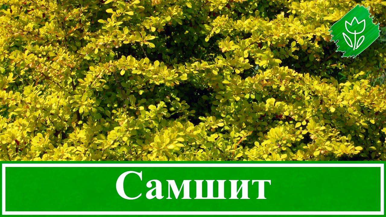 Самшит: посадка и уход в открытом грунте, сорта самшита с названиями