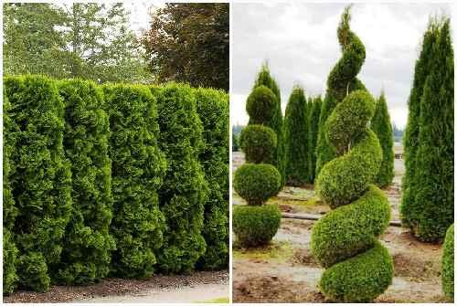 Кипарис: фото, описание и виды дерева | строительство. деревянные и др. материалы