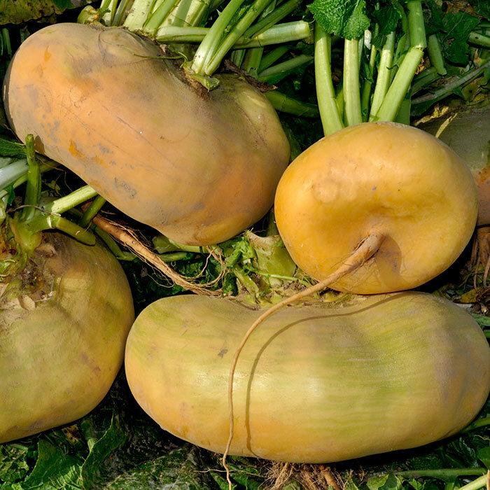 Турнепс: что это такое, как выглядит, где растет – выращивание и применение кормовой репы