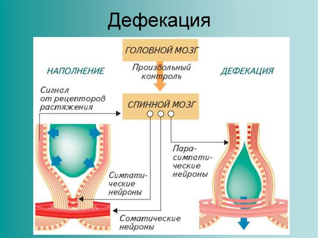 Дефекация. нарушение дефекации, причины, симптомы и лечение