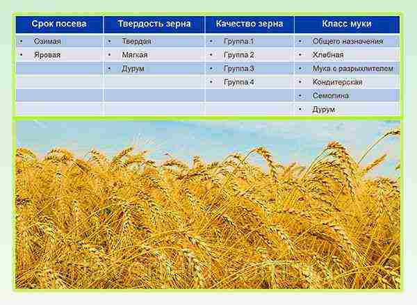 Пшеница - полезные и опасные свойства пшеницы