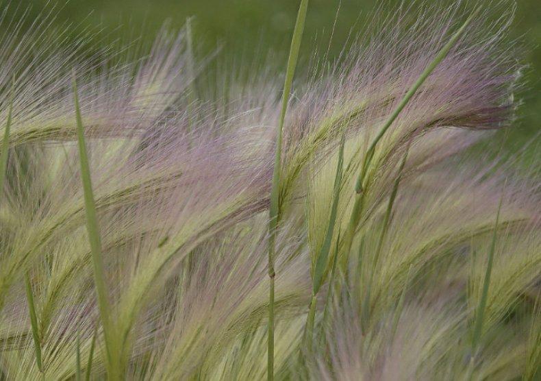 Ковыль: фото растения, описание и лечебные свойства - sadovnikam.ru