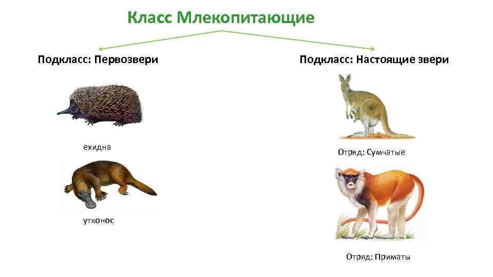 Млекопитающие - это... отряды млекопитающих. виды млекопитающих