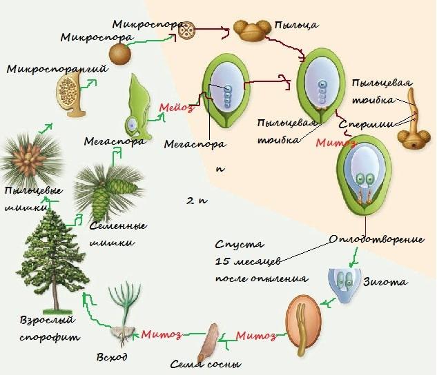 Голосеменные: размножение и строение. особенности размножения голосеменных растений