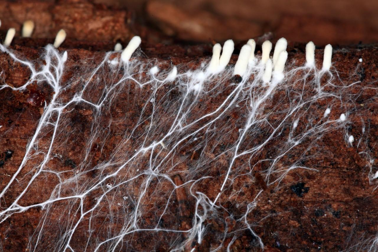 Нити мицелия: что это такое, причины заражения, лечение