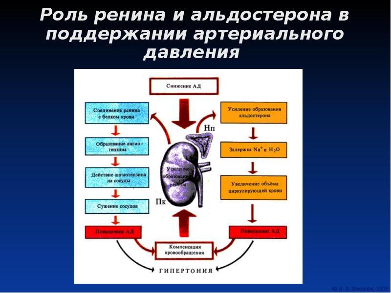 Альдостерон — википедия с видео // wiki 2
