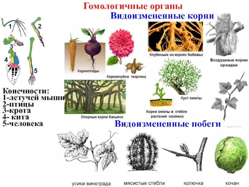 Гомологичные органы