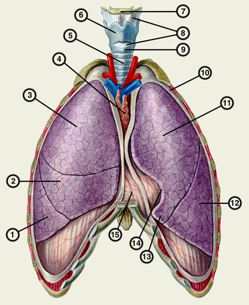 Как работает система дыхания: устройство лёгких человека