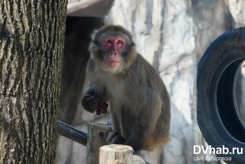 Макак-резус macaca mulatta