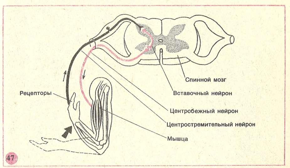Рефлекторная дуга, ее компоненты, виды, функции