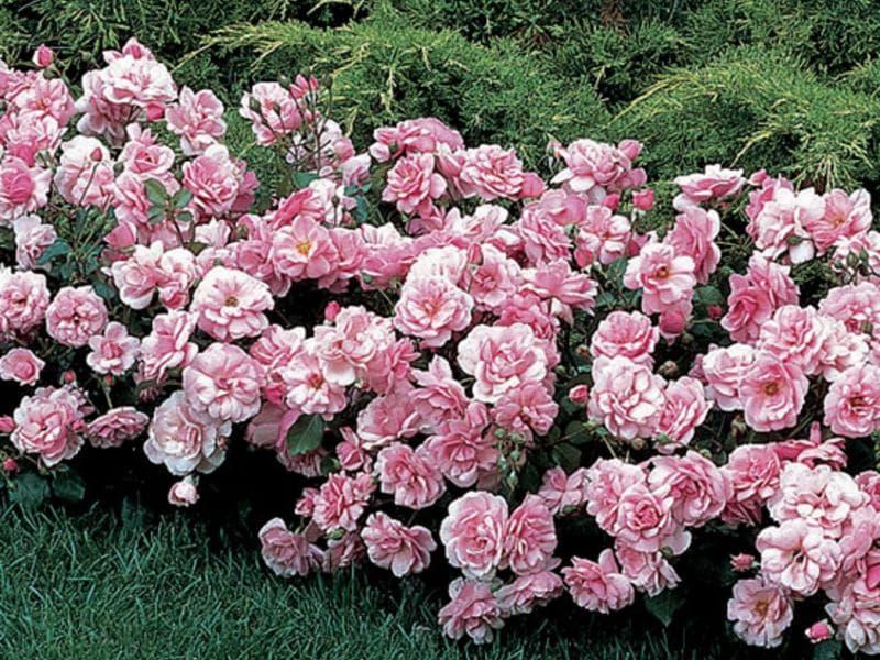 Полиантовые розы: что это такое?