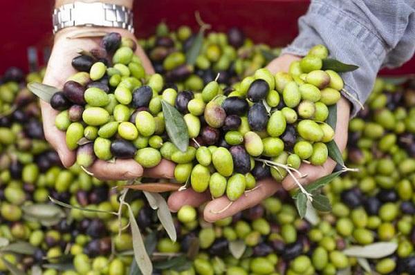 Польза и вред маслин, калорийность