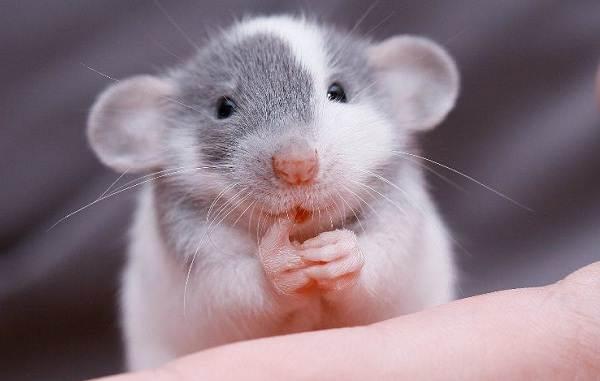 Прогрызая путь: как устроено крысиное общество ичем оно похоже начеловеческое