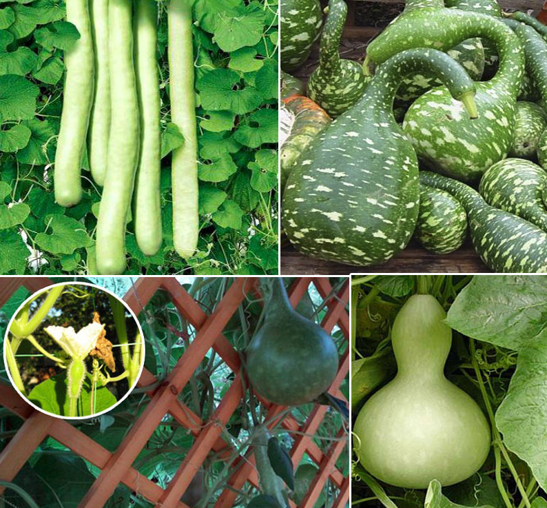 Лагенария, или горлянка — овощ на все руки