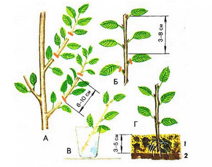 Что такое черенок: размножение растения черенкованием, в чем суть процесса