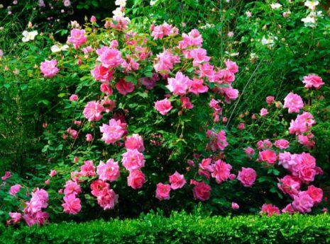 Роза — википедия. что такое роза
