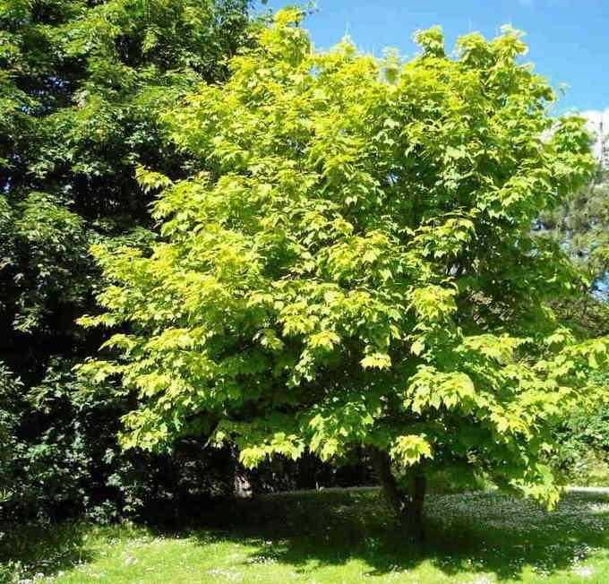 Клён дланевидный — википедия. что такое клён дланевидный