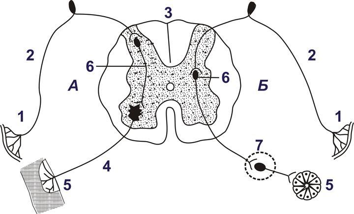 Схема рефлекторной дуги сгибательного рефлекса руки. понятие о рефлекторной дуге