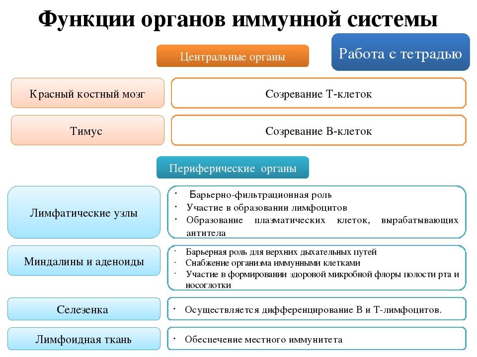 Иммунитет человека: функции, виды и органы иммунной системы. кратко и понятно иммунитет человека: функции, виды и органы иммунной системы. кратко и понятно