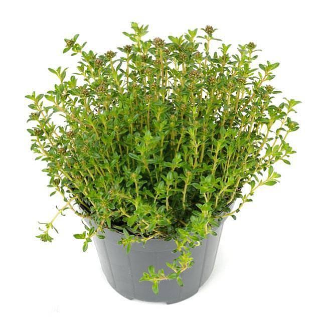 Чабер: лечебные свойства и противопоказания этой травы, описание, в чем заключается ее польза и вред, какое применение находит растение в кулинарии и медицине
