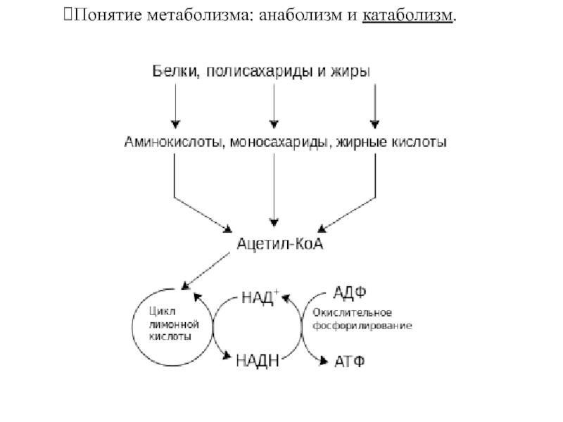 Анаболизм: что это такое и что происходит в процессе анаболизма?