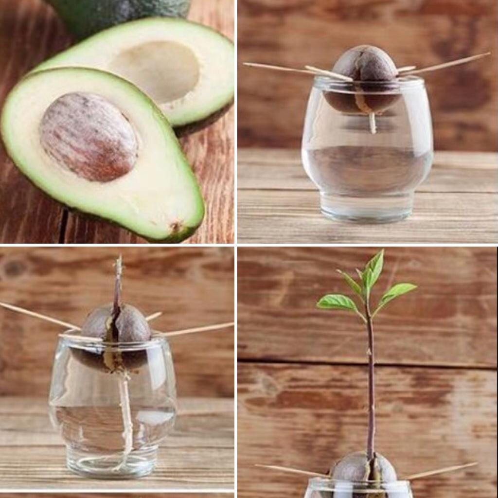 Можно ли есть неспелый авокадо?