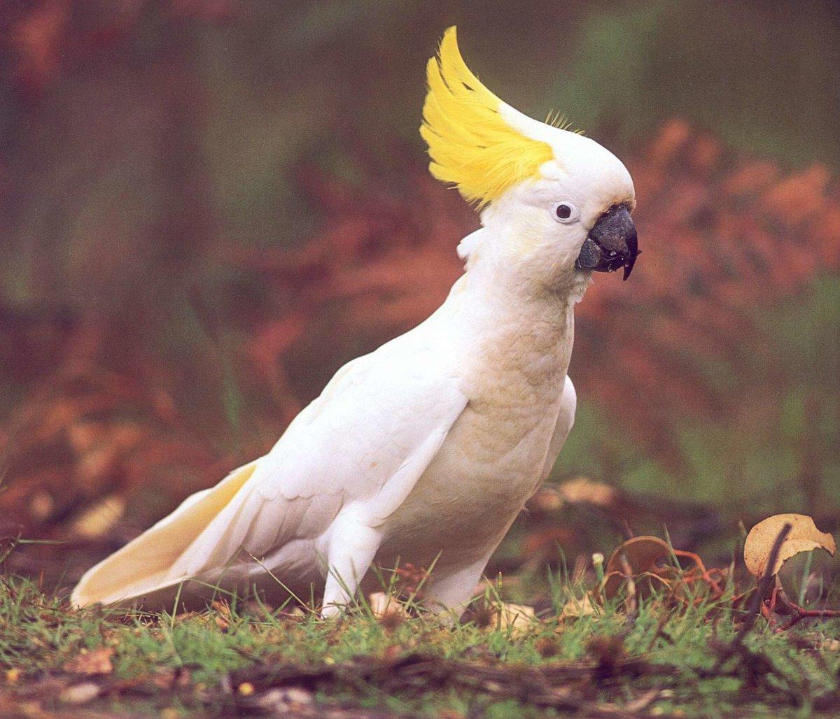 Попугай какаду: как выглядит, сколько стоит и живет, как ухаживать и чем кормить