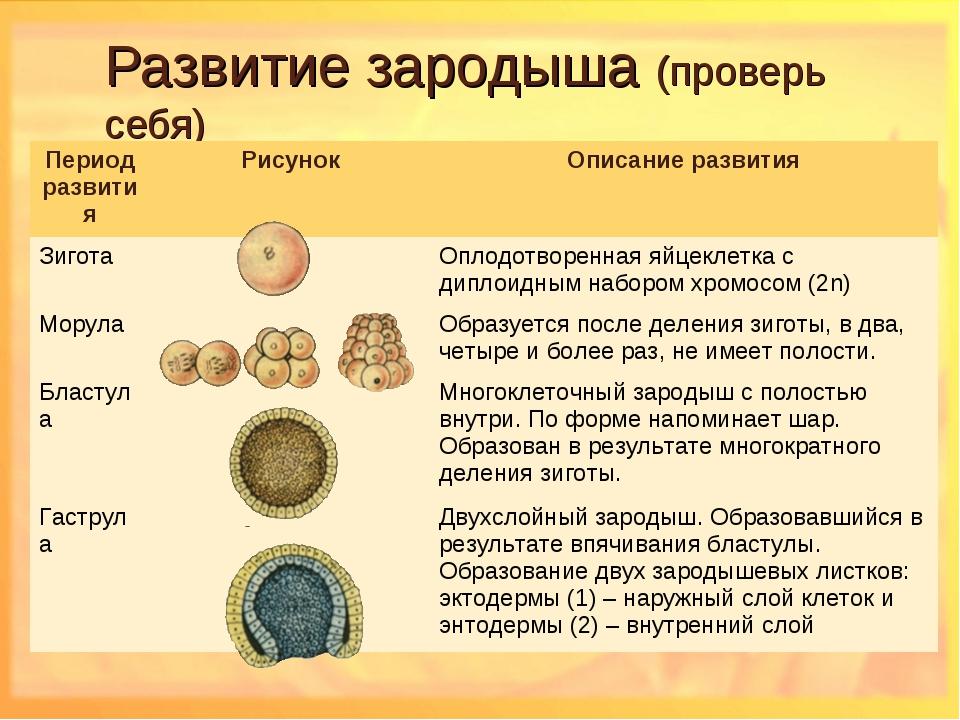 Зародыш (ботаника) — википедия. что такое зародыш (ботаника)