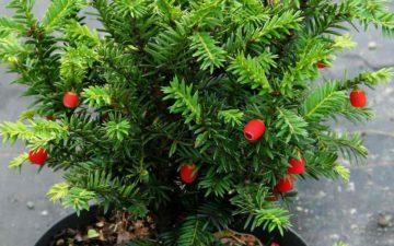 Тис ягодный - описание и сорта растения, посадка, выращивание и уход