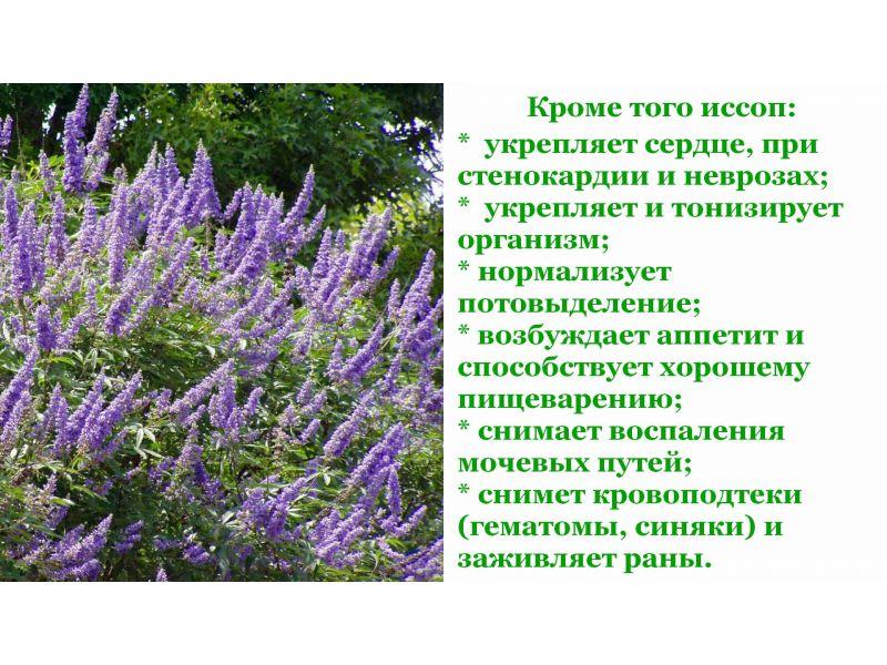 Иссоп — википедия с видео // wiki 2