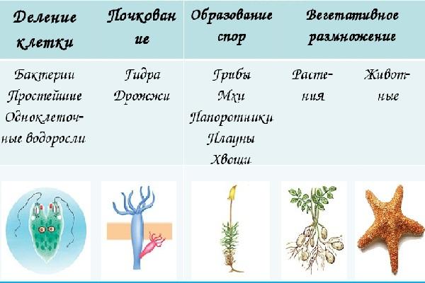 Какие растения размножаются почкованием. значение слова почкование. вегетативное размножение в примерах