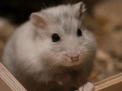 Что нужно хомяку для счастливого соседства с человеком? - новости про домашних животных