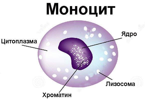 Главное о лимфоцитах: атипичность и норма