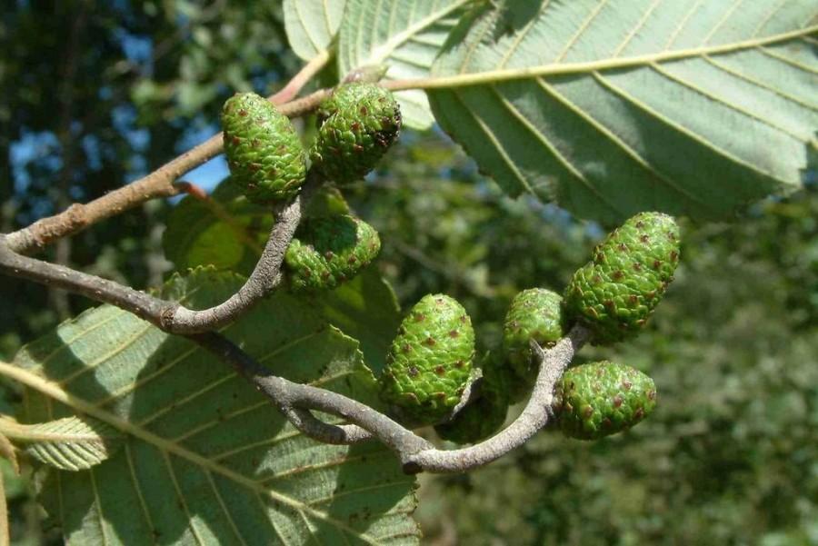 Ольха серая (26 фото): описание ольхи белой, ее листьев и плодов, «лациниата» и другие виды, семейство дерева и ареал