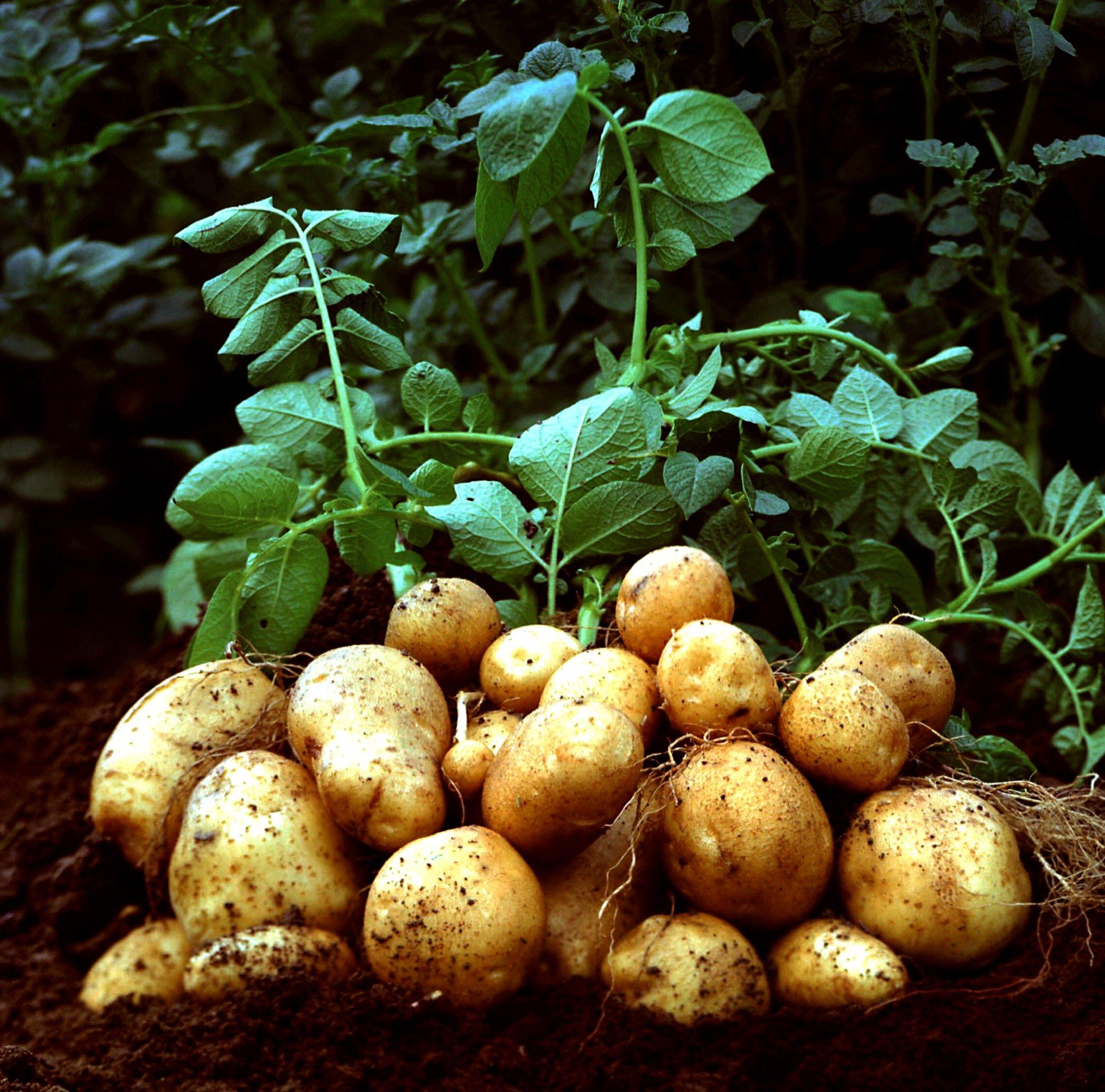 Картофель: фото и описание характеристик. строение и полезные свойства картофеля