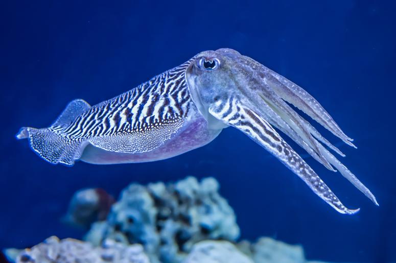Каракатица: польза и вред морепродукта | food and health