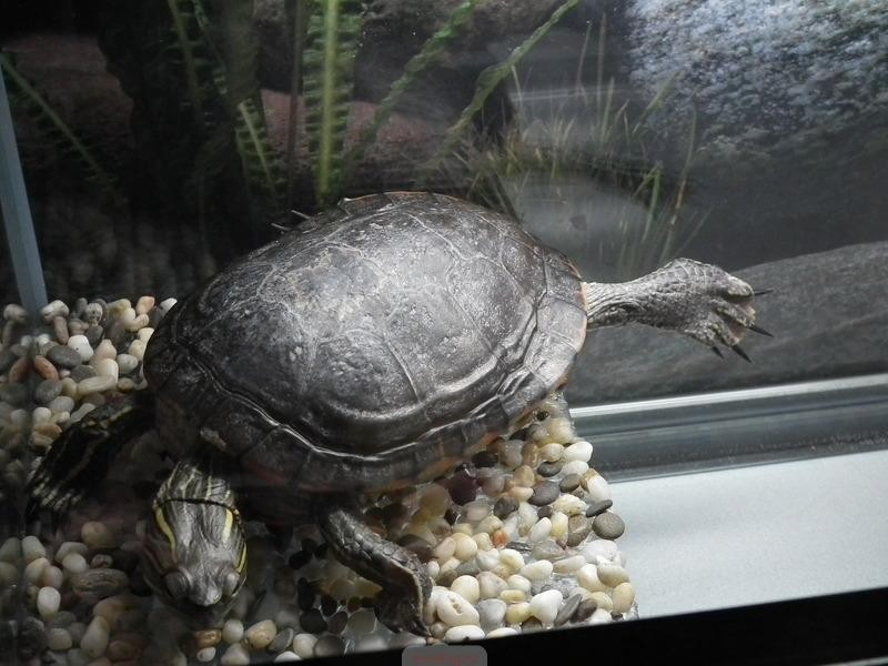 Виды черепах - описание, особенности, названия и фото видов черепах, размеры черепах