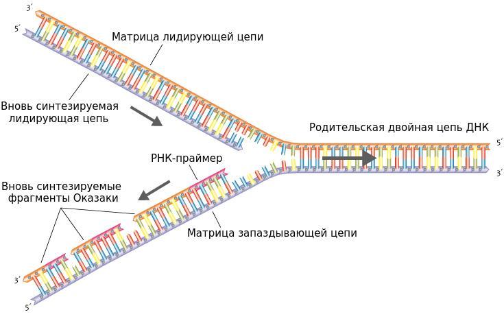 Репликация (биология) википедия