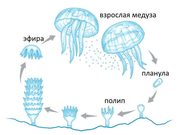 Медуза — википедия. что такое медуза