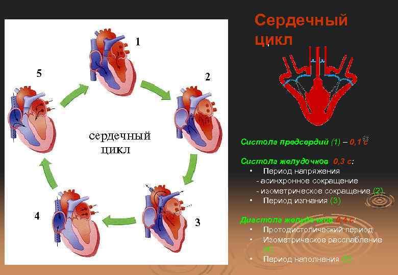 Систола и диастола: как работает сердце? | мое здоровье систола и диастола: как работает сердце? | мое здоровье