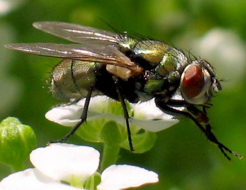 Мухи — википедия. что такое мухи