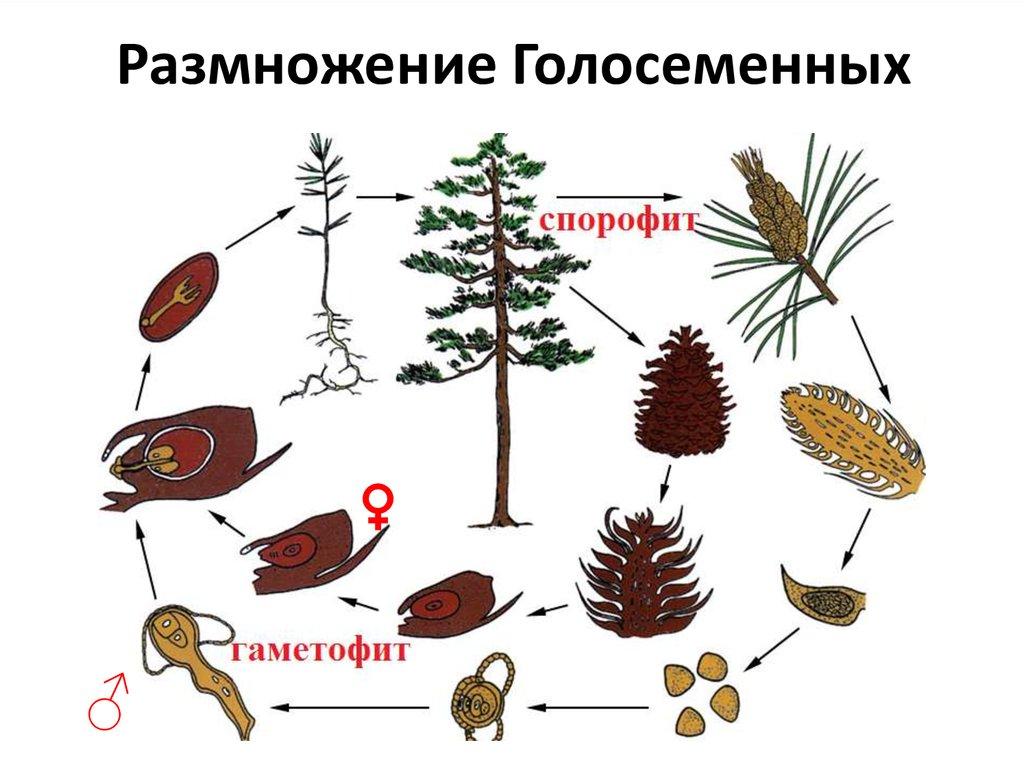 Голосеменные растения – особенности строения, примеры представителей отдела