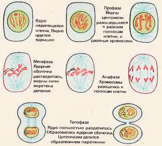 Краткая характеристика и схемы основных фаз митоза
