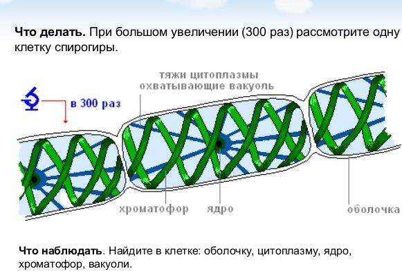 Спирогира