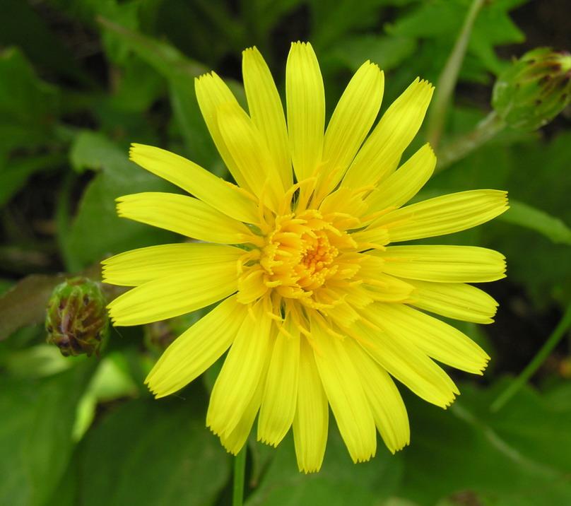 Выращивание и лечебные свойства скорцонеры - scorzonera hispanica